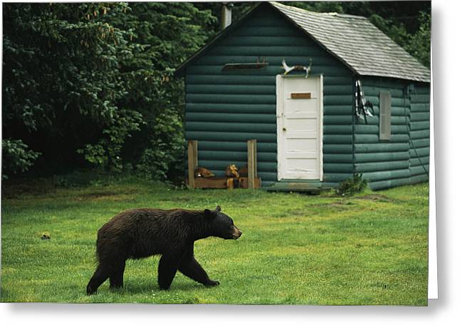 Hotels And Resorts Greeting Cards - A Black Bear Looks For A Meal Greeting Card by Raymond Gehman