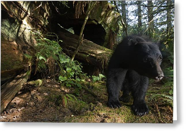 Remote Cameras And Remote Camera Traps Greeting Cards - A Black Bear Who Strips Bark Greeting Card by Michael Nichols