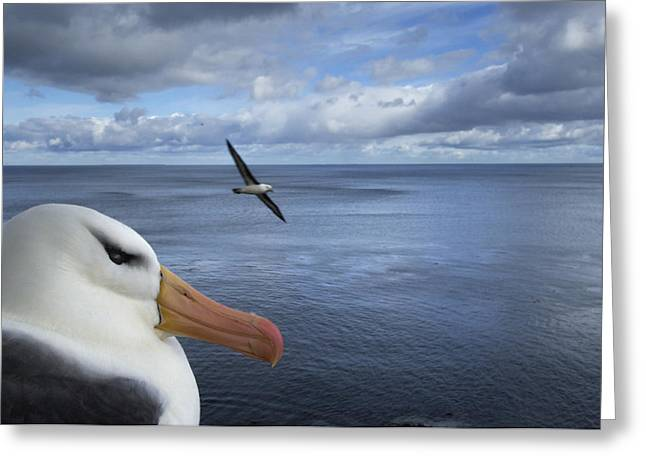 Flying Animal Greeting Cards - A Black-brow Albatross On Nest While Greeting Card by Frans Lanting