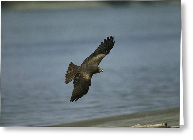 Black Kite Greeting Cards - A Black Kite In Flight Over Water Greeting Card by Klaus Nigge