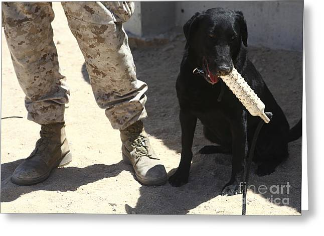 Working Dog Greeting Cards - A Black Labrador Sits With A Chew Toy Greeting Card by Stocktrek Images