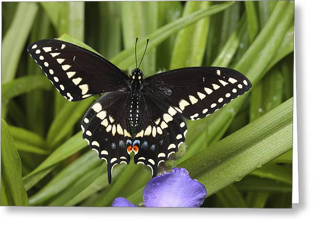 A Black Swallowtail Butterfly, Papilio Greeting Card by George Grall