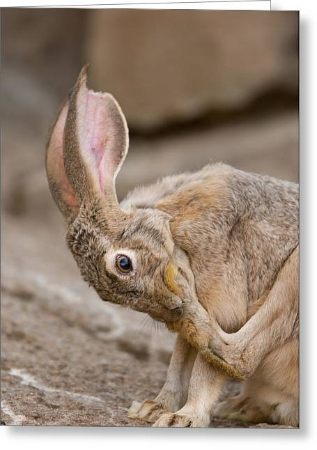 Desert Dome Greeting Cards - A Black-tailed Jackrabbit Greeting Card by Joel Sartore