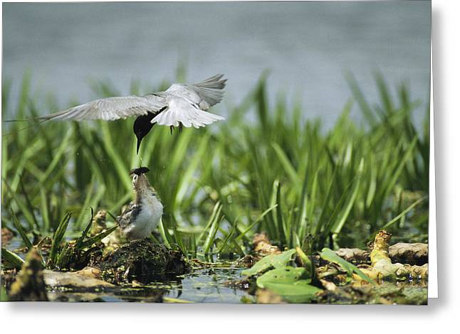 Tern Greeting Cards - A Black Tern Feeding Its Chick Greeting Card by Klaus Nigge