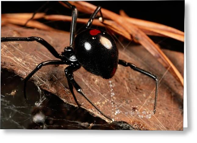 Black Widow Photographs Greeting Cards - A Black Widow Spider Latrodectus Greeting Card by George Grall