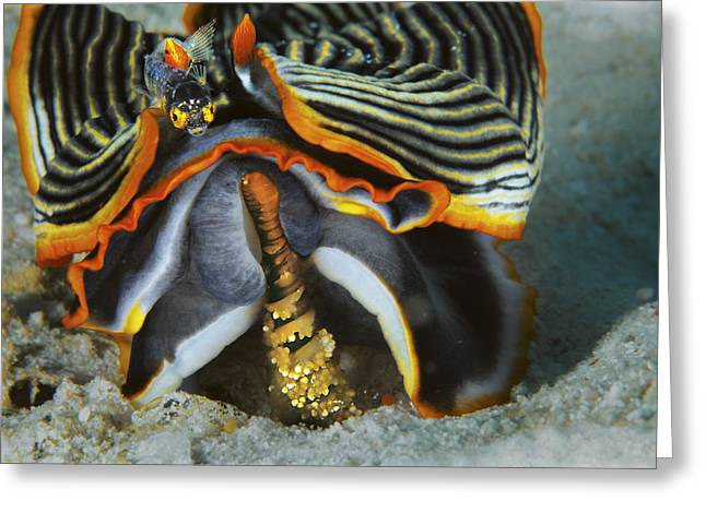 Nudibranch Greeting Cards - A Blenny Perches On An Armina Greeting Card by David Doubilet