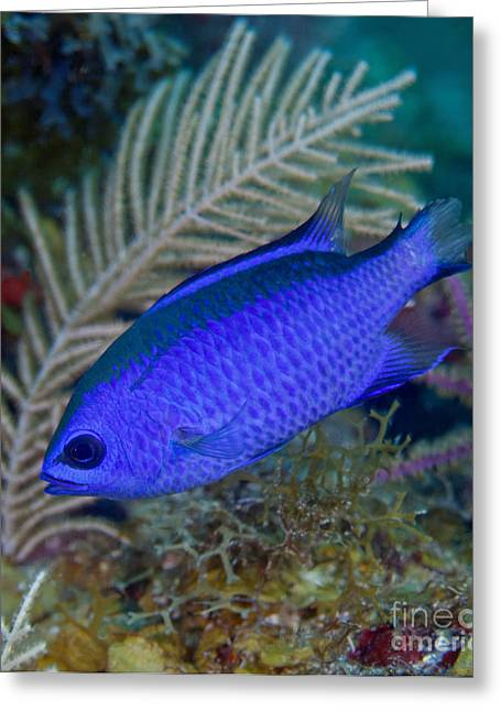 Best Sellers -  - Undersea Photography Greeting Cards - A Blue Chromis Swims Into The Current Greeting Card by Michael Wood