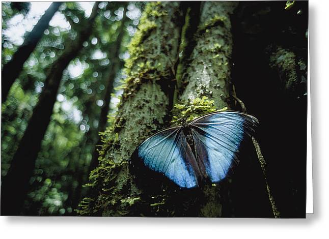 Tree Roots Greeting Cards - A Blue Morpho Butterfly Greeting Card by Joel Sartore