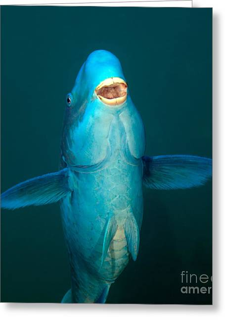 Undersea Photography Greeting Cards - A Blue Parrotfish In The Atlantic Ocean Greeting Card by Terry Moore