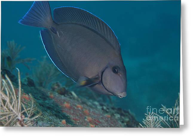 Undersea Photography Greeting Cards - A Blue Tang Surgeonfish, Key Largo Greeting Card by Terry Moore