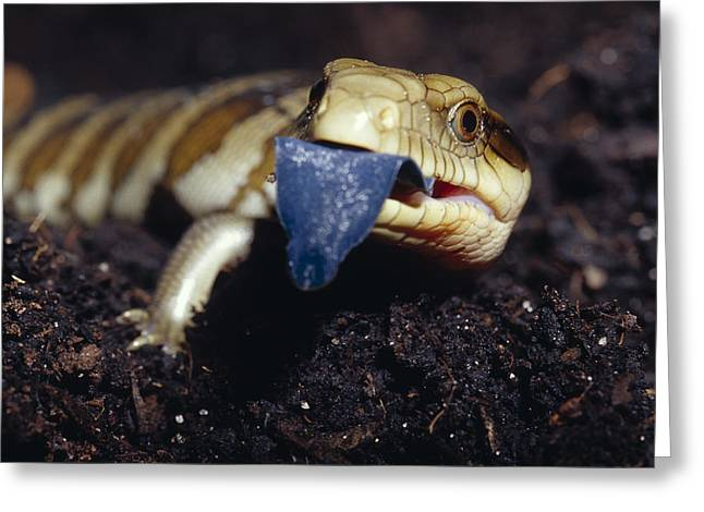 Patterned Marking Greeting Cards - A Blue-tongue Lizard Hatchling Sticks Greeting Card by Jason Edwards