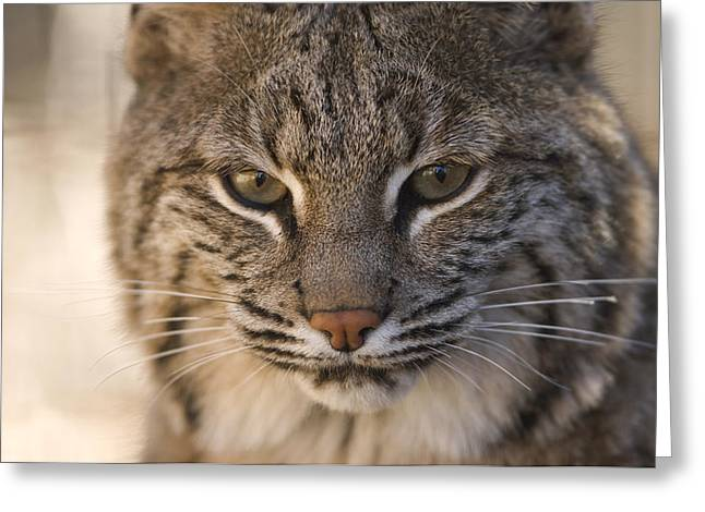 A Bobcat At The Rolling Hills Zoo Greeting Card by Joel Sartore
