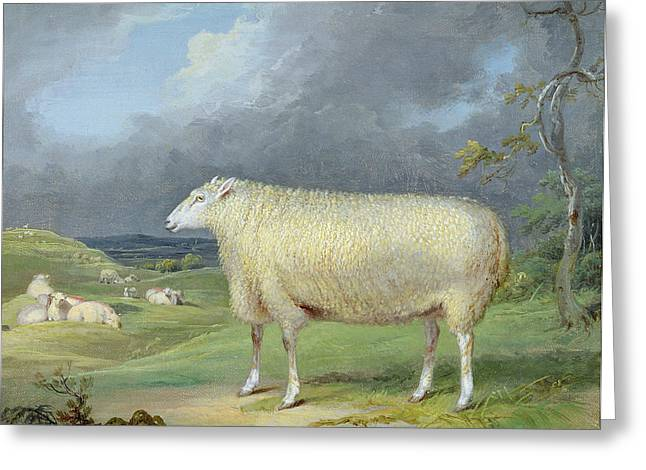 Border Greeting Cards - A Border Leicester Ewe  Greeting Card by James Ward