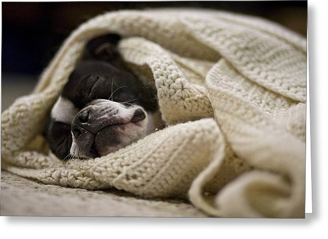 Curled Up Greeting Cards - A Boston Terrier Sleeps In A White Greeting Card by Hannele Lahti