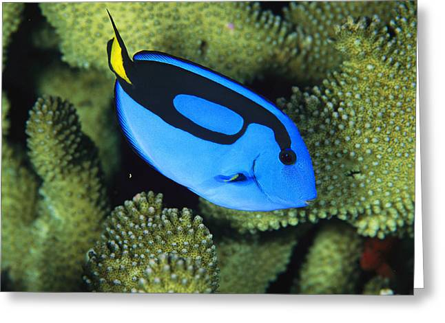 A Bright Blue Palette Surgeonfish Greeting Card by Tim Laman