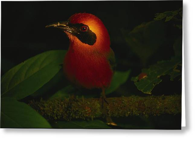 Light And Dark Greeting Cards - A Broad-billed Mot Mot Rests On A Tree Greeting Card by Joel Sartore