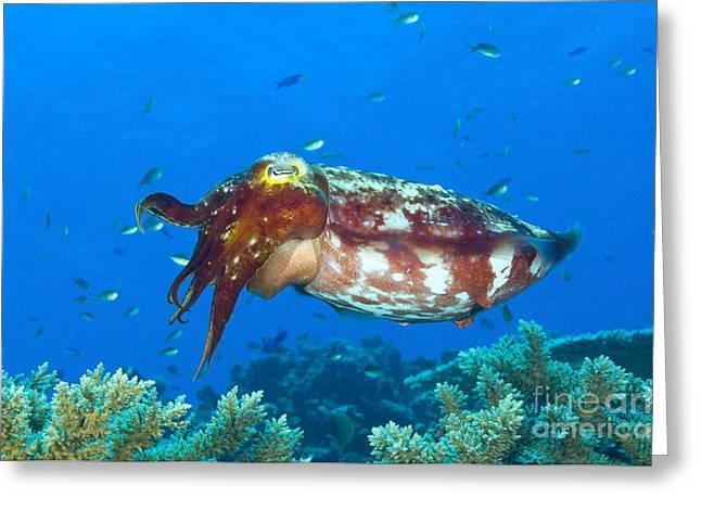 Cephalopod Greeting Cards - A Broadclub Cuttlefish, Kimbe Bay Greeting Card by Steve Jones