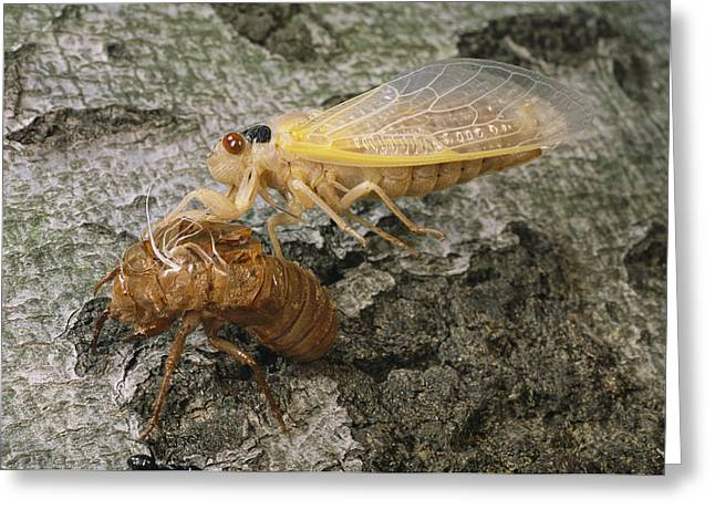 Animal Life Cycles Greeting Cards - A Brood X, 17-year Cicada Emerges Greeting Card by Darlyne A. Murawski