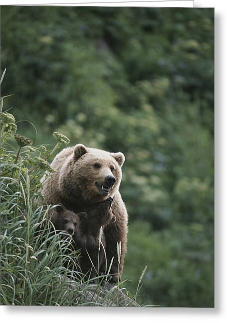 Wild Animals Greeting Cards - A Brown Bear Sow With Her Twin Cubs Greeting Card by Tom Murphy