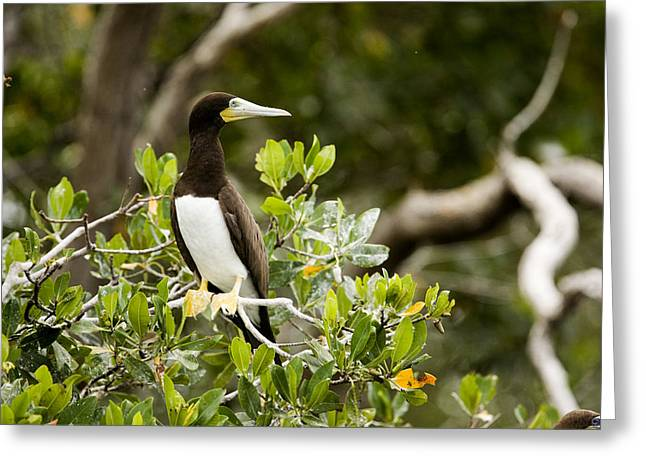 Brown Booby Greeting Cards - A Brown Booby Sula Leucogaster Greeting Card by Tim Laman