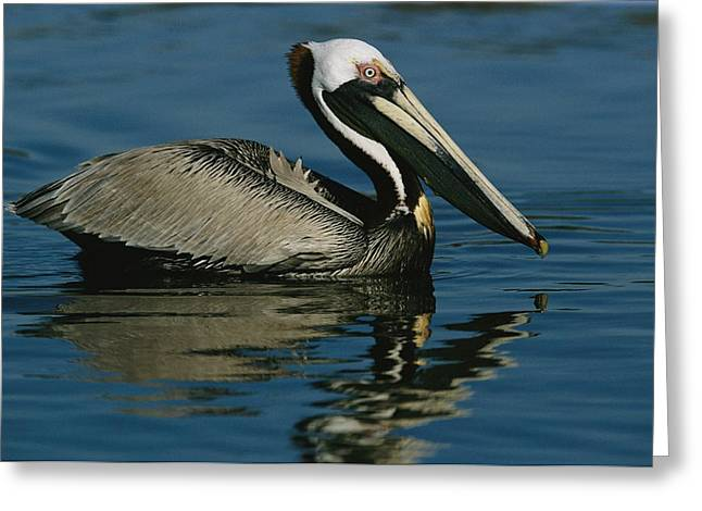 J N Ding Darling National Wildlife Refuge Greeting Cards - A Brown Pelican Floating Calmly Greeting Card by Tim Laman