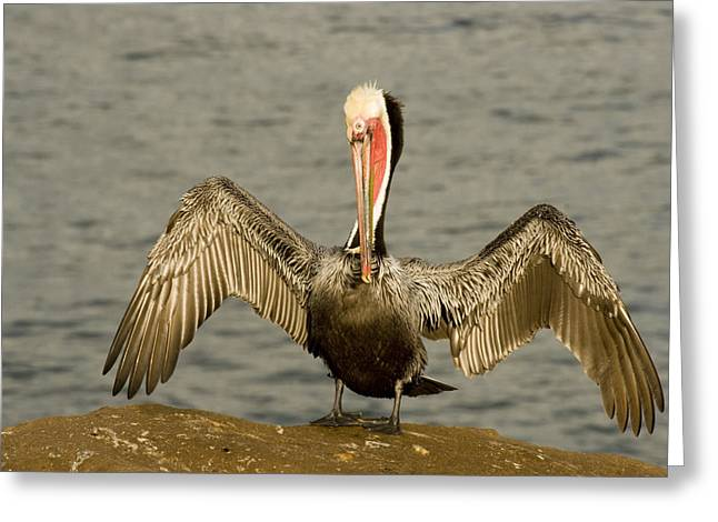 Wild Behavior Greeting Cards - A Brown Pelican Pelecanus Occidentalis Greeting Card by Tim Laman