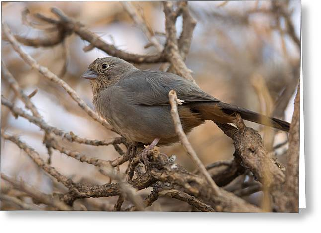 Brown Towhee Greeting Cards - A Brown Towhee Pipilo Fuscus Greeting Card by Joel Sartore
