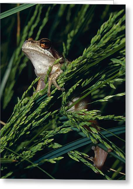 Precarious Greeting Cards - A Brown Tree-frog Clings To Seeding Greeting Card by Jason Edwards