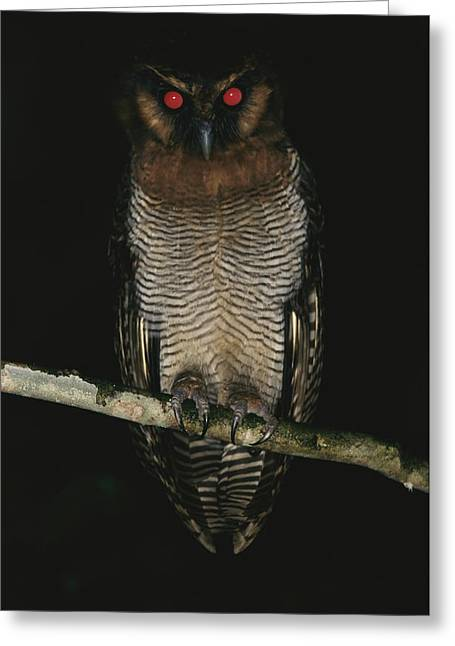 Brassey Greeting Cards - A Brown Wood Owl, Strix Leptogrammica Greeting Card by Tim Laman