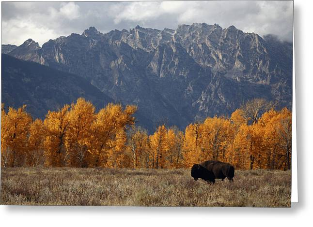 Physiology Greeting Cards - A Buffalo Grazing In Grand Teton Greeting Card by Aaron Huey