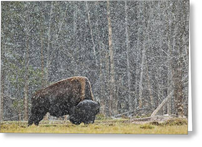 A Buffalo In Lamar Valley In Greeting Card by Richard Wear