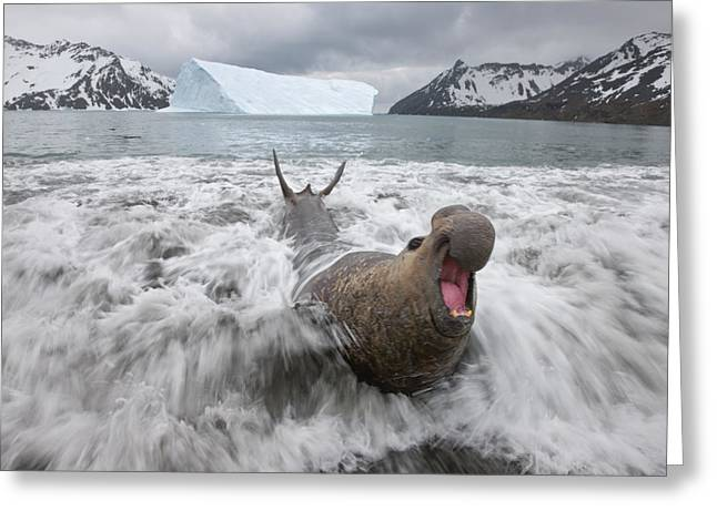 Emergence Greeting Cards - A Bull Elephant Seal Emerges Greeting Card by Paul Nicklen