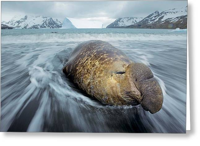Emergence Greeting Cards - A Bull Elephant Seal In Fortuna Bay Greeting Card by Paul Nicklen
