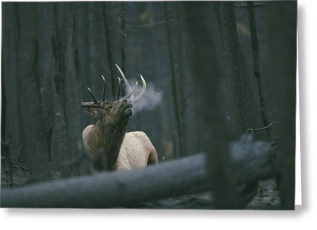 A Bull Elk Bugles, Emitting A Frosty Greeting Card by Michael S. Quinton