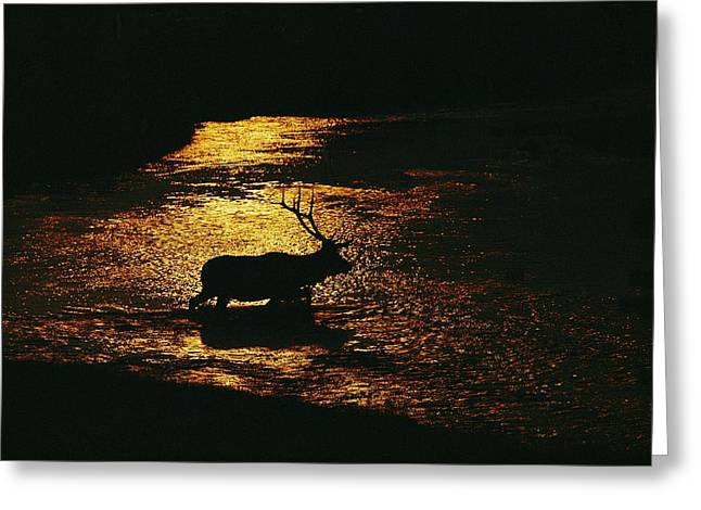 Chromatic Greeting Cards - A Bull Elk Cervus Elaphus Crosses Greeting Card by Michael S. Quinton