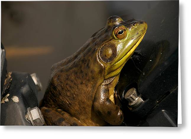 Quirky Greeting Cards - A Bullfrog Sits On A Boat Motor Greeting Card by Heather Perry