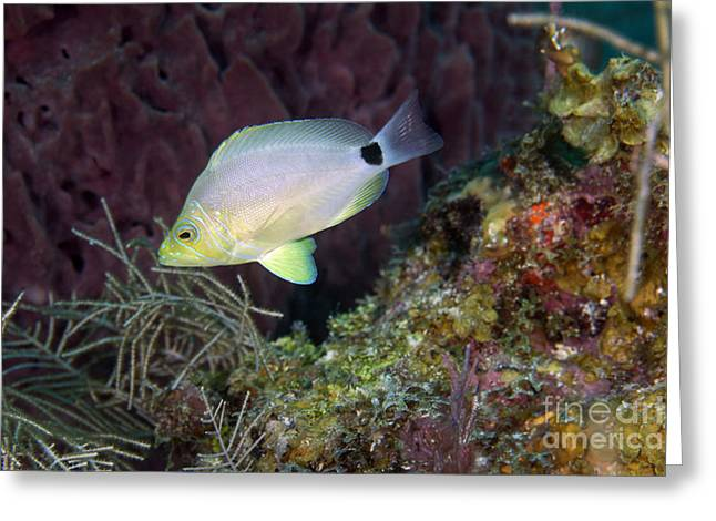 Undersea Photography Greeting Cards - A Butter Hamlet Swims By A Colorful Greeting Card by Terry Moore