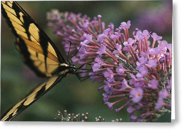 Garden Scene Greeting Cards - A Butterfly Sips Nectar From A Flower Greeting Card by Taylor S. Kennedy