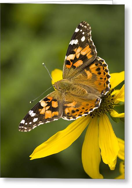 Close Focus Nature Scene Greeting Cards - A Butterfly Sits Atop A Yellow Greeting Card by Ralph Lee Hopkins