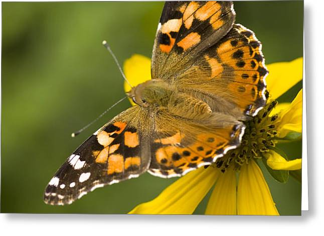 A Butterfly Sits Atop A Yellow Greeting Card by Ralph Lee Hopkins