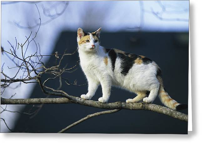 Human Actions And Reactions Greeting Cards - A Calico Cat Climbs A Tree Greeting Card by Stephen Alvarez