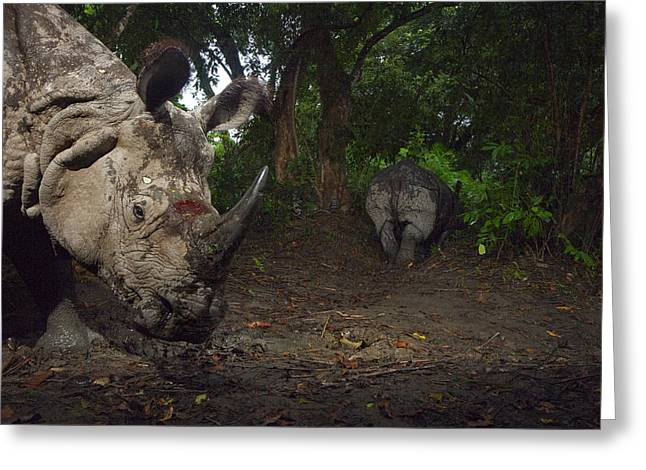Remote Cameras And Remote Camera Traps Greeting Cards - A Camera Trap Captures A Bloodied Greeting Card by Steve Winter