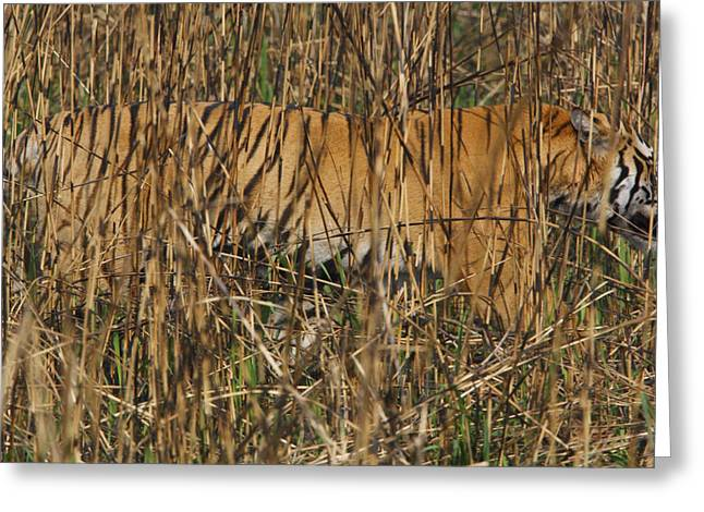 The Tiger Greeting Cards - A Camouflaged Tiger Hunts Amid Greeting Card by Steve Winter