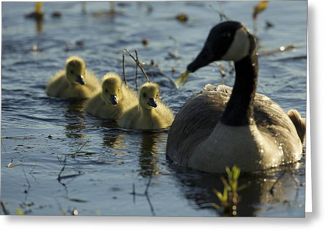 Concord Ma. Greeting Cards - A Canada Goose Branta Canadensis Family Greeting Card by Tim Laman