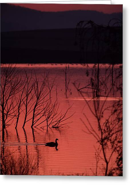Middle Atlantic States Greeting Cards - A Canada Goose On A Placid Lake Greeting Card by Ira Block