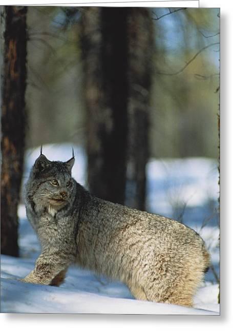 Canadian Lynx Greeting Cards - A Canadian Lynx Lynx Canadensis Greeting Card by Paul Nicklen