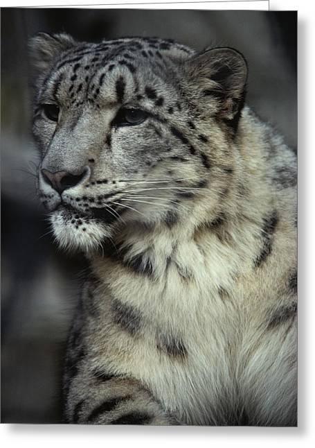A Captive Snow Leopard Panthera Uncia Greeting Card by Tom Murphy