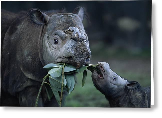 Juvenile Mammals Greeting Cards - A Captive Sumatran Rhinoceros Greeting Card by Joel Sartore