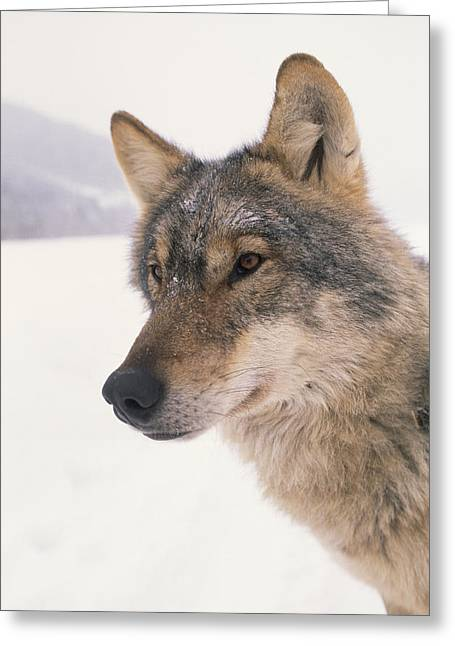 Carpathian Mountains Greeting Cards - A Captive Wolf Studied By Carpathian Greeting Card by Gordon Wiltsie