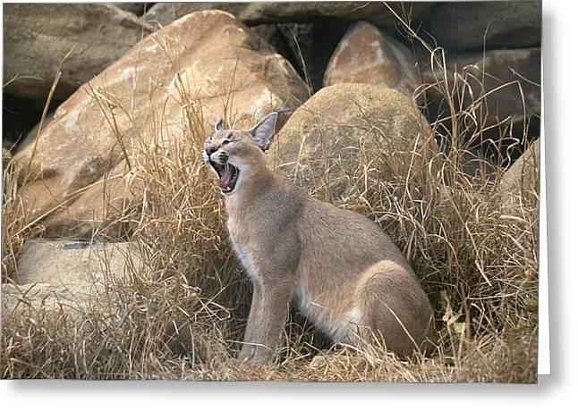 Felis Greeting Cards - A Caracal Yawns Greeting Card by Beverly Joubert
